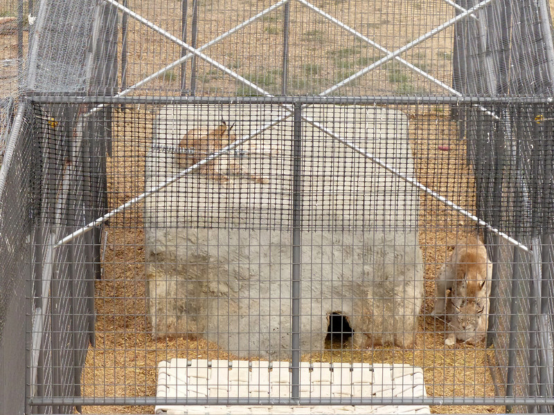 One of the sanctuary's Bobcats was rescued from a woman that was hoarding animals. There were carcasses of road kill littering the property that the woman used to feed the animals. Although the males have been neutered the two cats on the ground of this enclosure appeared to be having some fun together!