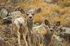 Mule Deer, they DO have ears, eh?