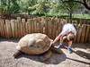 Reptile Gardens - June 13, 2017 - GIANT TORTOISES