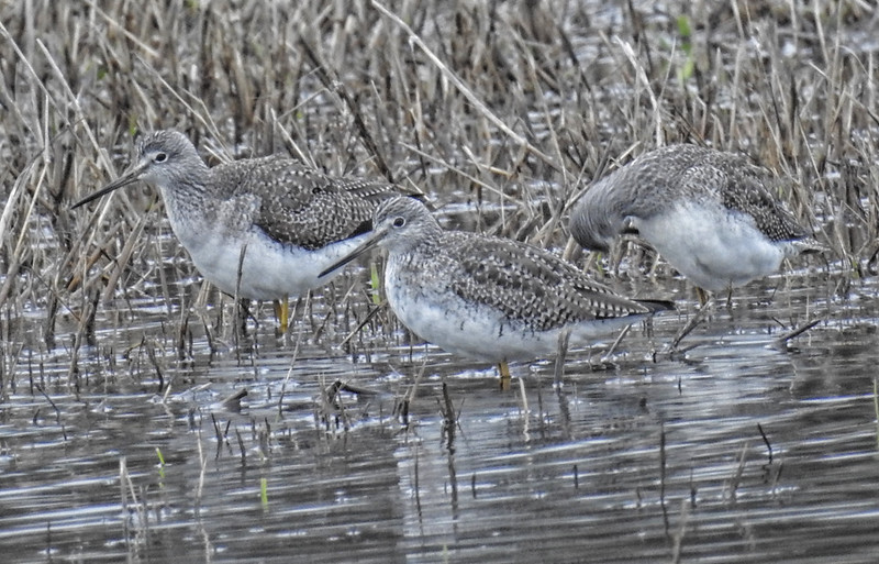 Lesser Yellowlegs - Tringa flavipes