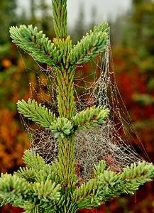 Cobwebs and morning dew on spruce saplings near our cabin
