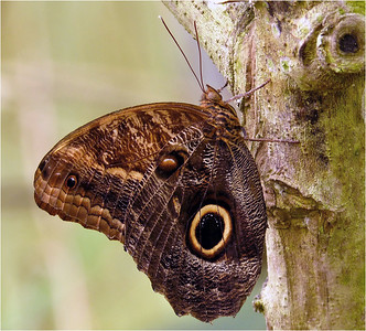 Great Owl Butterfly of Costa Rica