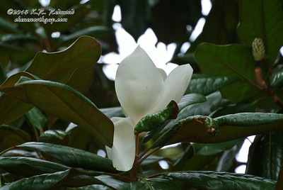 Magnolia Blossom at Knoxville College