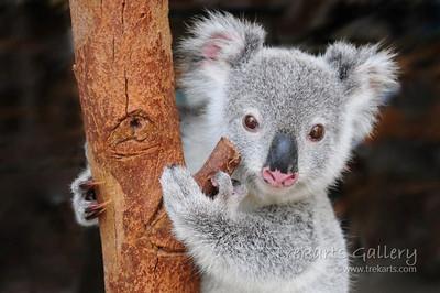 Pine Rivers Koala Care