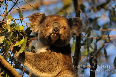 Koala Photos 2010