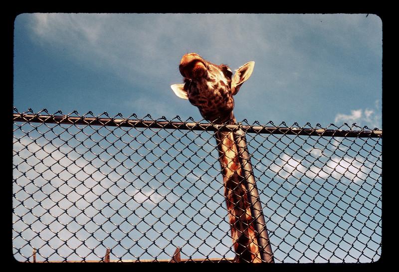 Giraffe at the Buffalo Zoo.