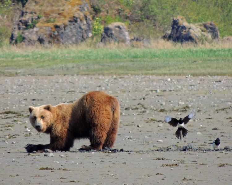 THE KODIAK BEAR 1