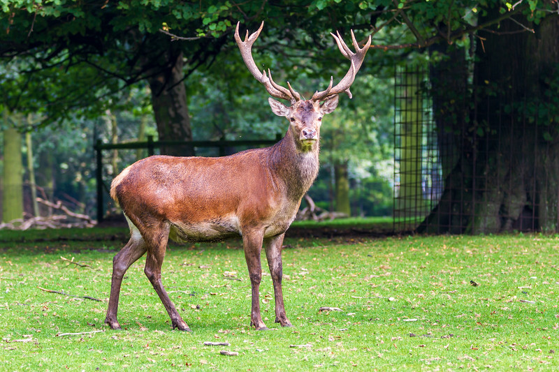 Deer on the Koekamp. The Hague. 11 August 2012.