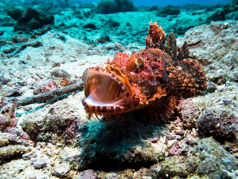 Scorpionfish yawning