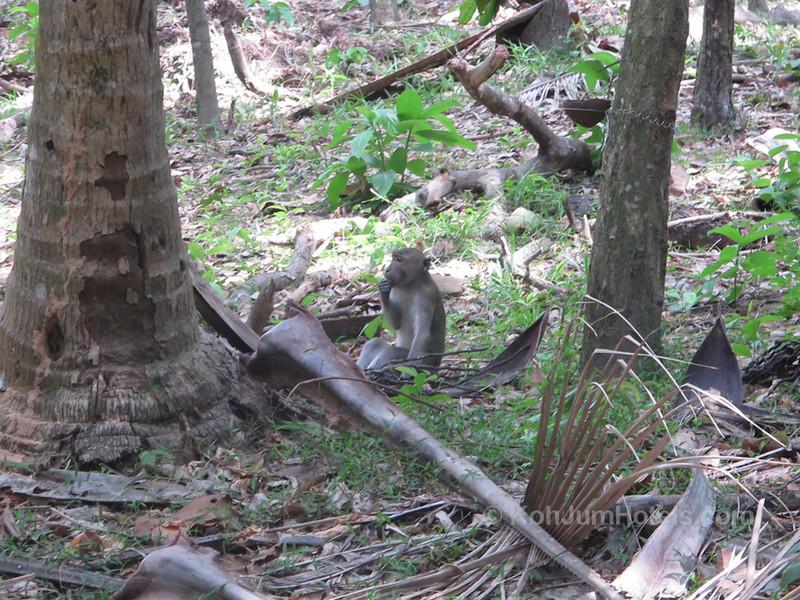 Wild monkeys near Magic Beach Koh Jum