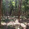 Road passing through rubber trees on Koh Jum