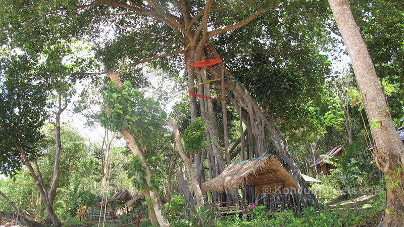 very old tree in Ting Rai Bay Resort Ting Rai Beach Koh Jum