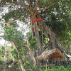 very old tree in Ting Rai Bay Resort Ting Rai Beach Koh Jum