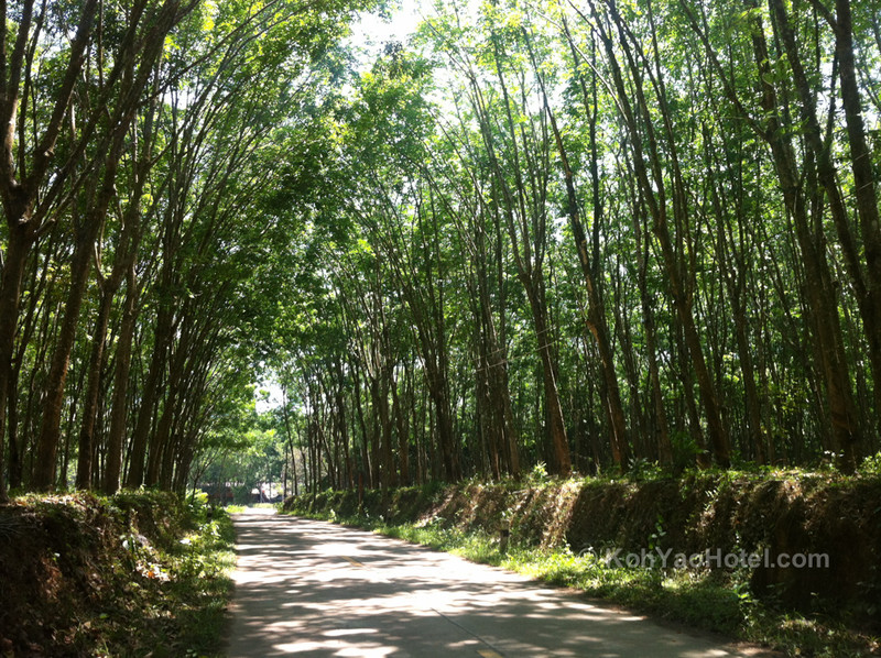 Rubber Tree bower, Klong Jark Beach, Koh Yao Noi
