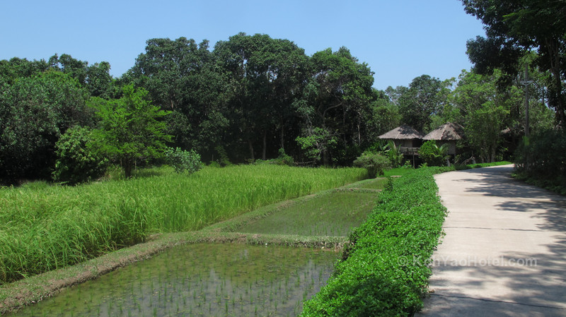 rice fields and homes koh yao yai village koh yao yai