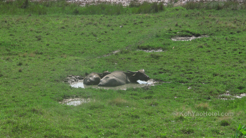 buffalo keeping cool on Koh yao yai