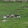 buffalo keeping cool on Koh yao yai