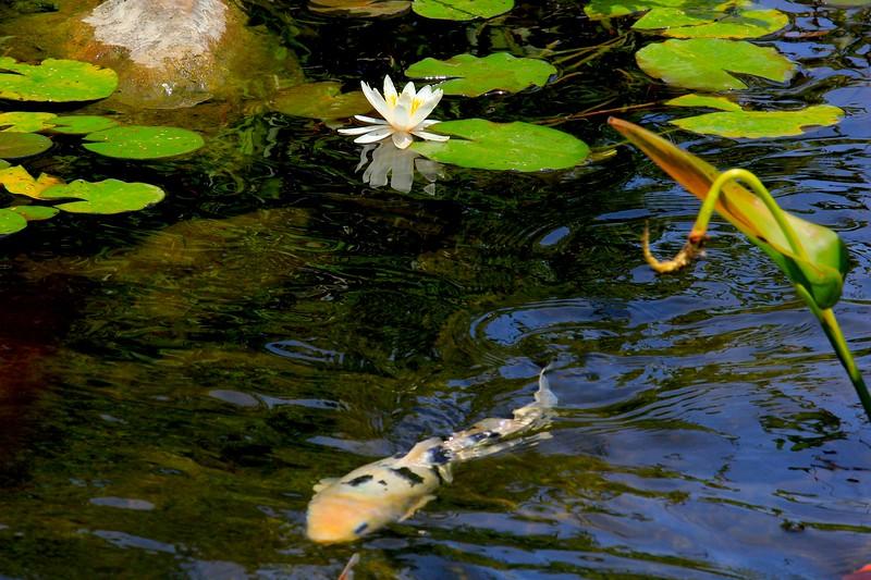 Lily, White Koi Swimming