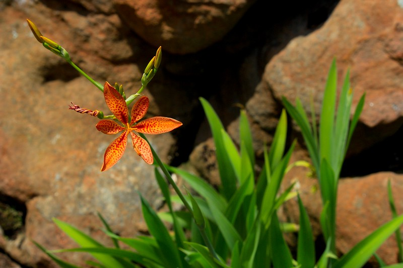Orange Lily and Rock