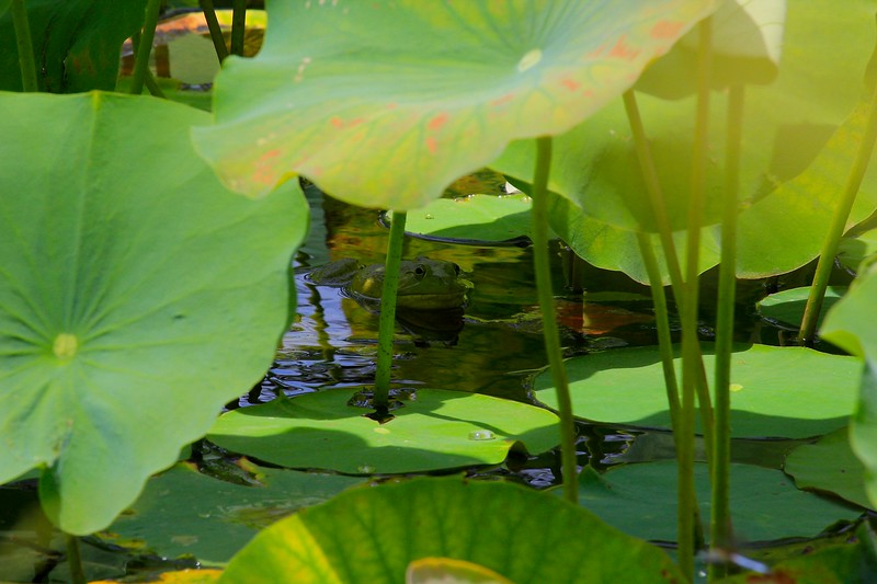 Hiding Toad in Lily Pads 1