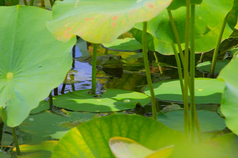 Hiding Toad in Lily Pads 2