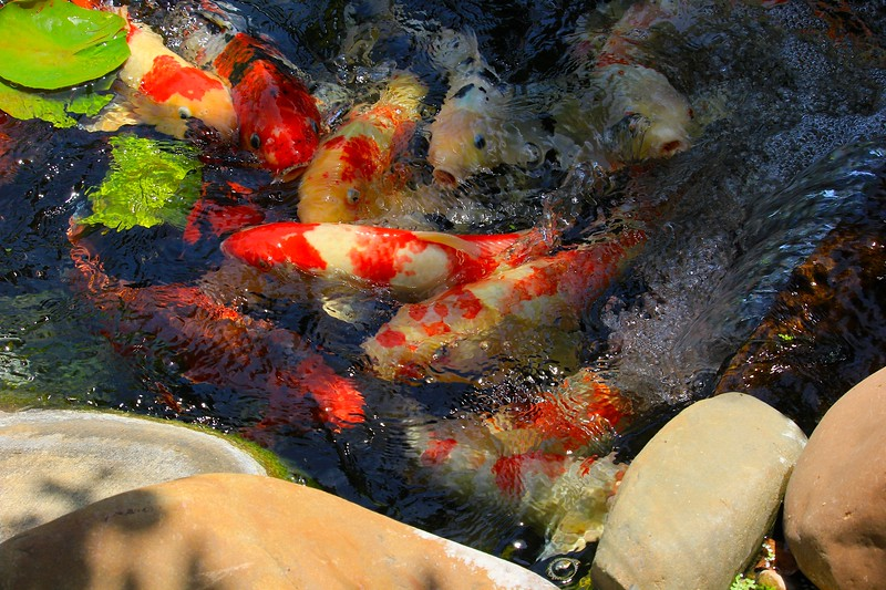 Koi School of Sight Seers at the Waterfall
