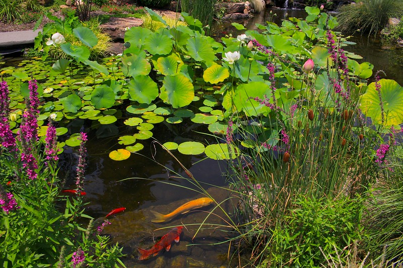Lilies, Koi and Flowers
