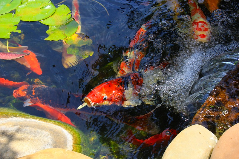 Koi and a Leaf at the Waterfall
