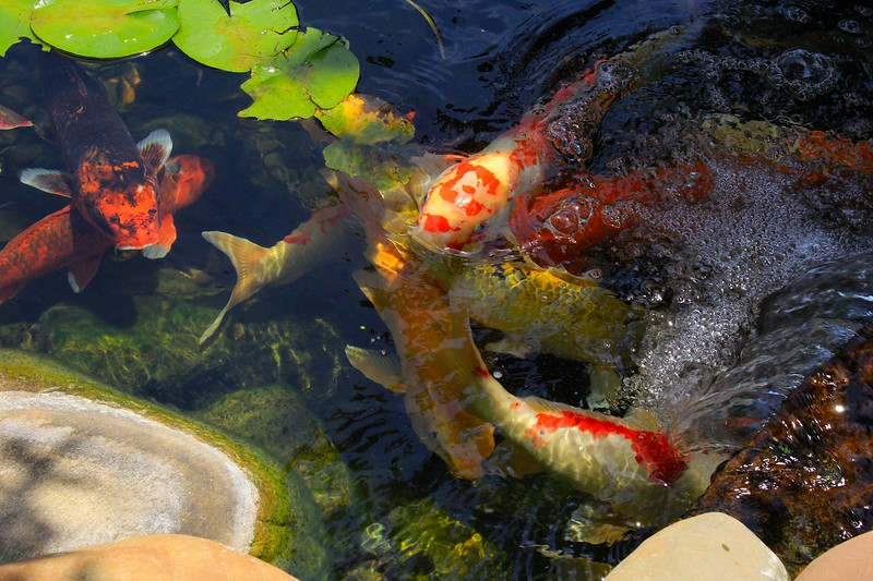 Koi at the Waterfall