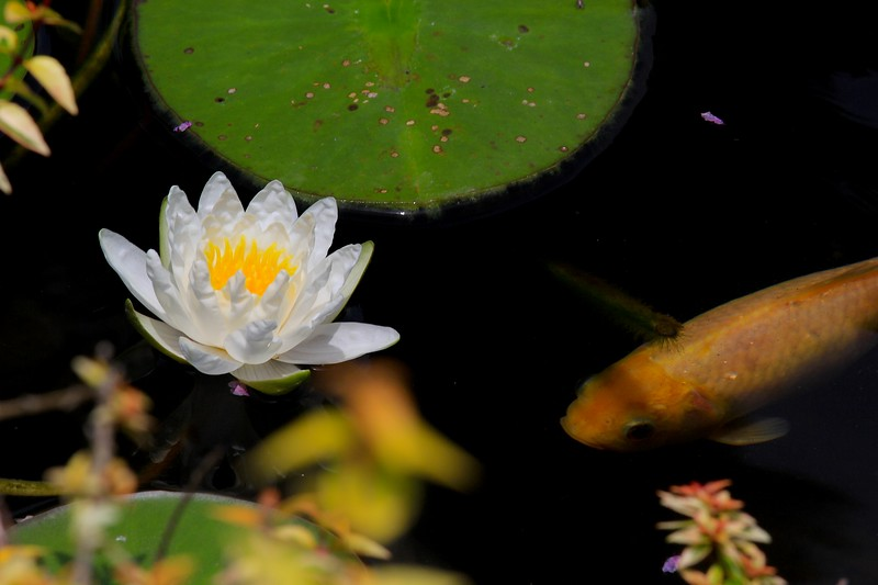 Lily, Koi and Dragonfly