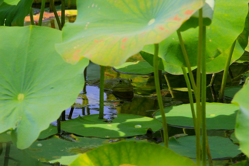 Hiding Toad in Lily Pads 3
