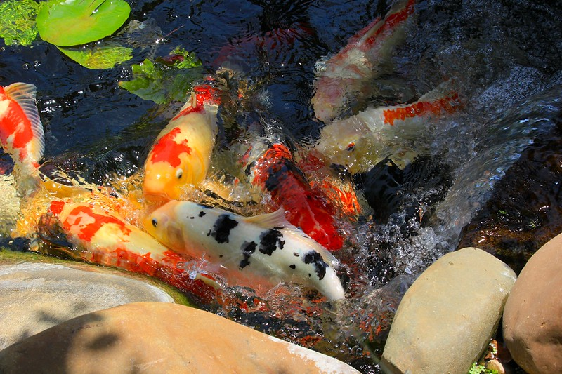 White Koi in School at the Waterfall