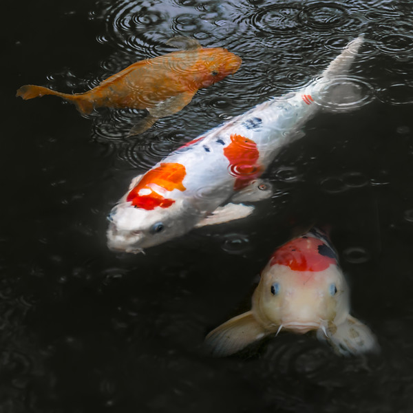 "Koi pics for my niece who's a fish veterinarian in Santa Cruz.   <a href=""www.avsnca.com"">Aquatic Veterinary Services of Northern California</a>"