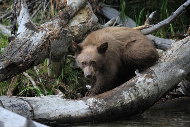 California Black Bear (Ursus americanus californiensis)