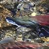 Sockeye salmon (Oncorhynchus nerka)