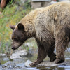 California Black Bear (Ursus americanus californiensis)