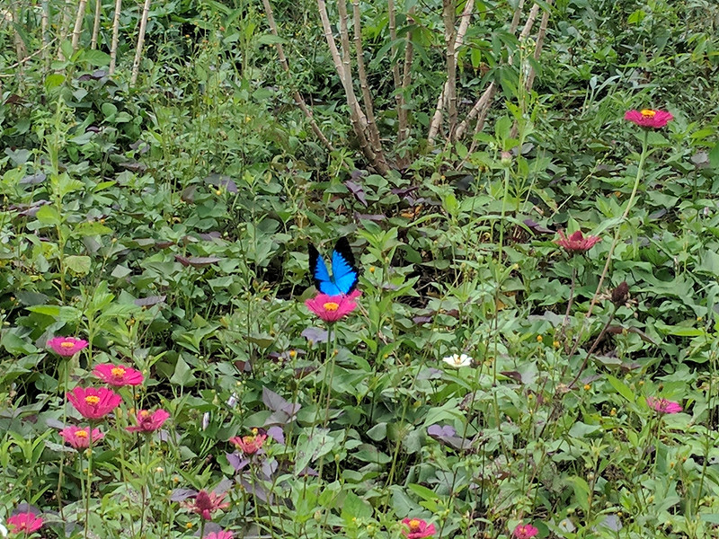 A beautiful blue butterfly feeds from the flowers