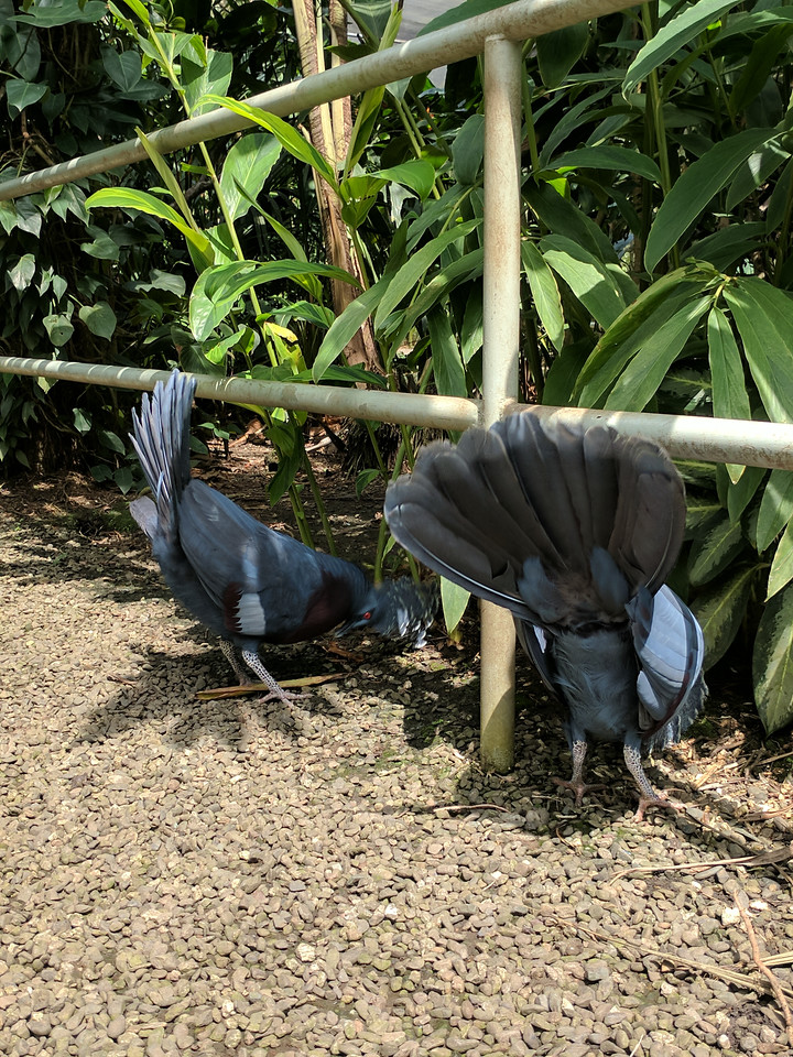 Victoria Crowned Pigeons courting