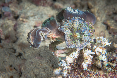 Corallimorph Decorator Crab