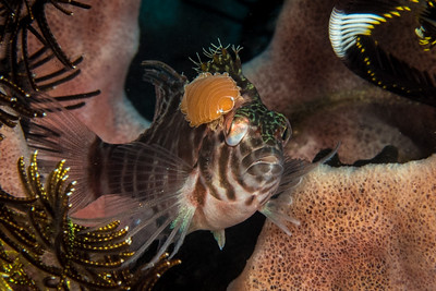 Hawkfish with Isopod