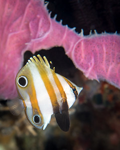 Two-Eyed Coralfish