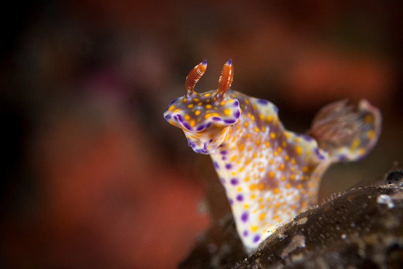 Hypselodoris sp.