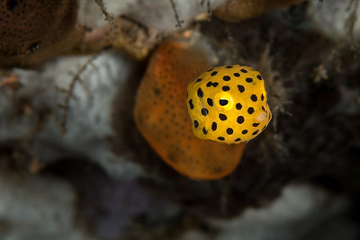 Juvinile Yellow Spotted Boxfish