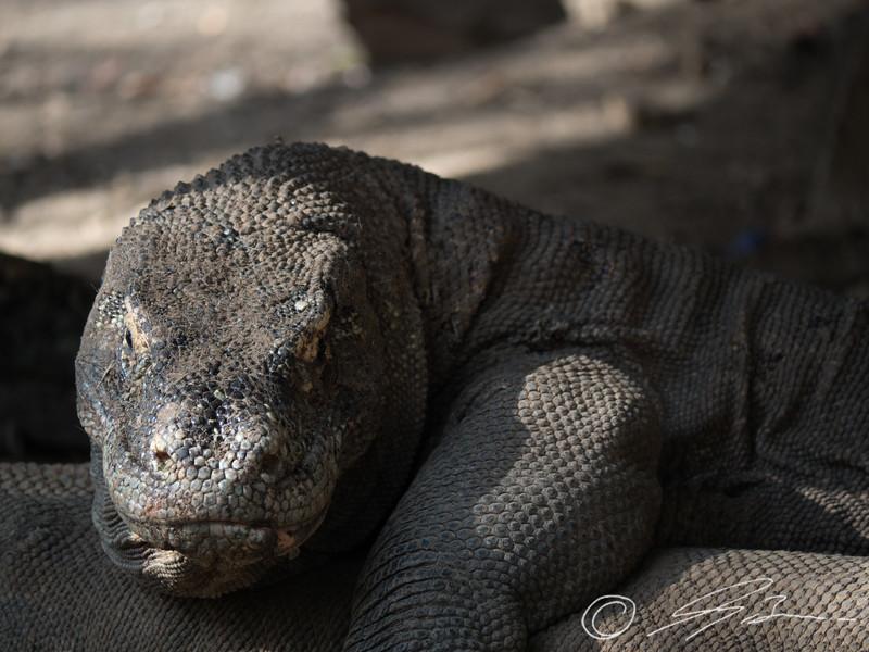 Komodo Dragons in the wild