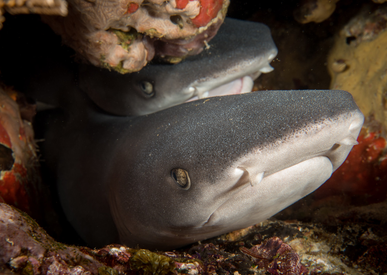 Baby White Tip Sharks