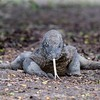One of the first Komodo dragons we saw, a female aged about 10 years