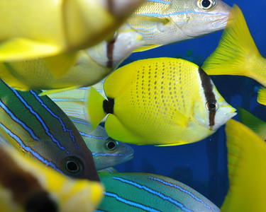 Milletseed Butterflyfish in school of Blue Stripped Snappers