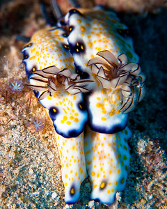 Imperial Nudibranches