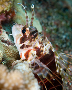 Hawaiian Lionfish