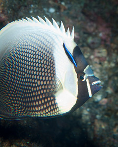 Reticulated Butterfly Fish being cleaned by a Hawaiian Cleaner Wrasse
